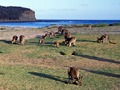 Kangaroos feeding before sunset at Pebbly Beach