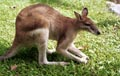 Tame Wallaby